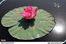 پاور پوینت گل نیلوفر آبی