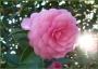 گل کاملیا